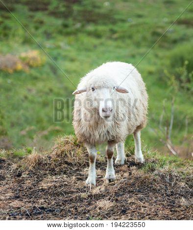 White sheep looking at the camera. Carpathian mountains.