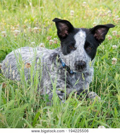 Cute Heeler puppy in green grass in the shade