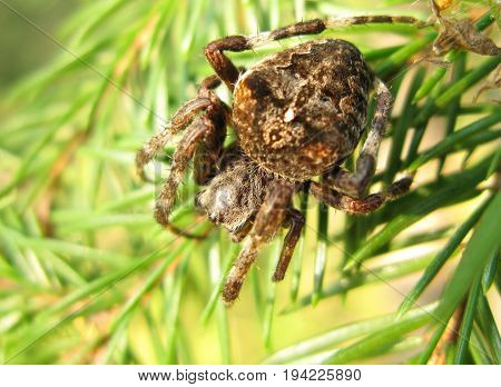 black crossed ornamented spider with long legs on the leaf