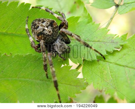 black crossed spider with long legs on the leaf