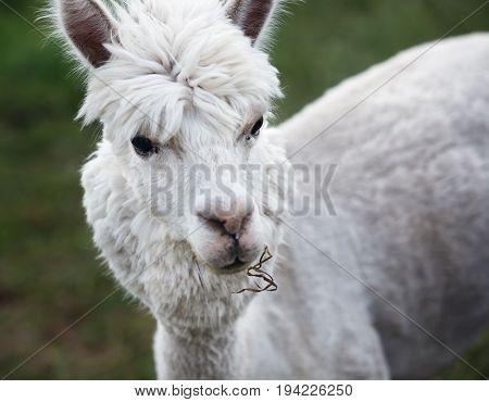 Close Up Of Alpaca On The Farm