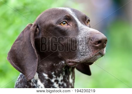 portrait of german shorthaired pointer on green blurred background