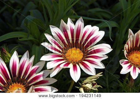 Beautiful colorful flowers of pink gazania closeup