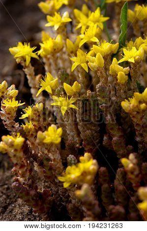 Sedum acre / goldmoss stonecrop / macro