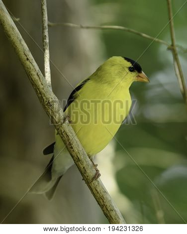 An American Goldfinch (Spinus tristis) shown in right profile, perched in a tree in Andover Township, New Jersey, USA.