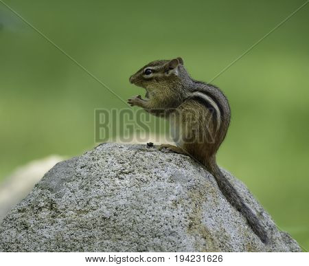 An Eastern Chipmunk (Tamias striatus), sitting atop a rock while eating, with a blurred green background, in Allamuchy, New Jersey, USA.