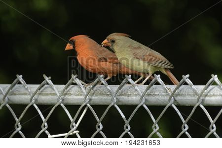 A pair of Northern Cardinals (Cardinalis cardinalis) sitting alongside one another on a chain link fence.  The female is eating bird seed.  Shown in left profile, in Andover, New Jersey, USA.