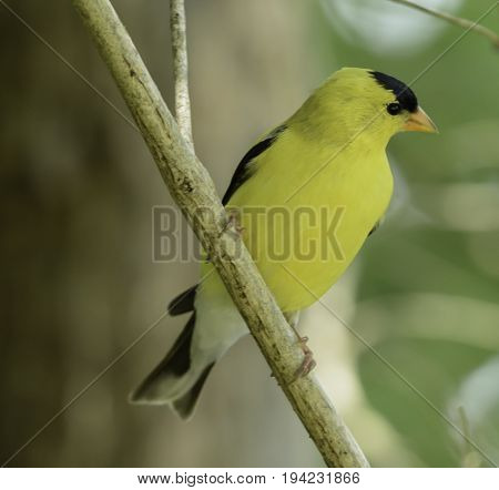 An male American Goldfinch (Spinus tristis), a bright yellow songbird, perched in a tree in Andover New Jersey, USA.