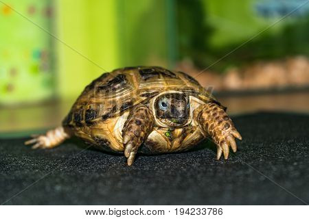 Portrait Of The Cub Of A Central Asian Turtle