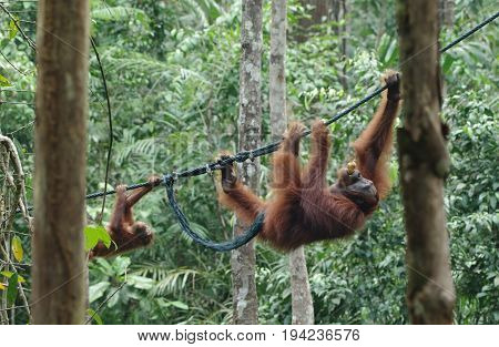Orangutan-baby and orangutan-mama move along the vine between the trees in the forest. An adult monkey carries a meal in her mouth
