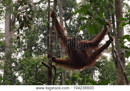 Great Ape hang between branches of tree in the forest. Orangutan or pongo pygmaeus in the wild. Wildlife