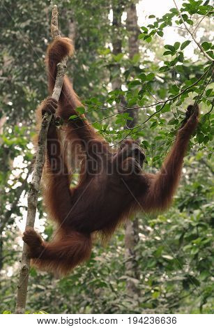 Orangutan hang on the branch of the tree in the forest. The ape resting on tree in rainforest. Animals in wild, wildlife