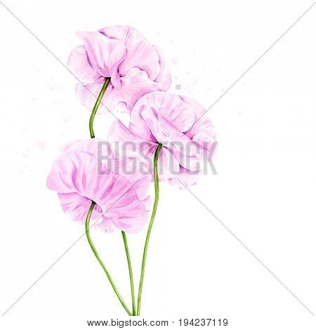 Watercolor illustration of light violet poppies
