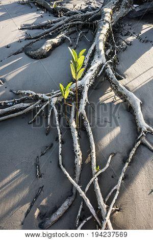 Mangroves on the river Rio Preguica Maranhao northern Brazil