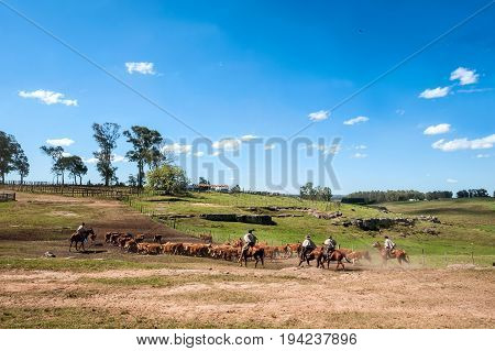 Gauchos (south American Cowboys) Collect The Herd And Drive It Into The Corral. Gaucho Is A Resident