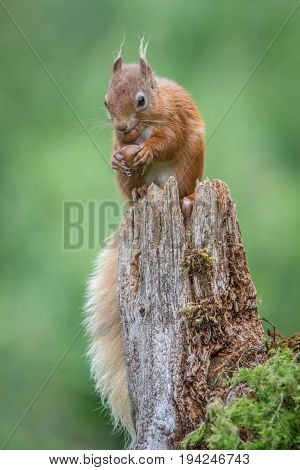 An upright vertical close up portrait of a red squirrel sitting on top of an old tree stump eating a hazelnut