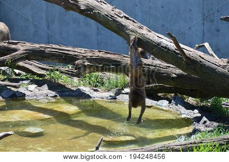 A snow monkey playing in the water