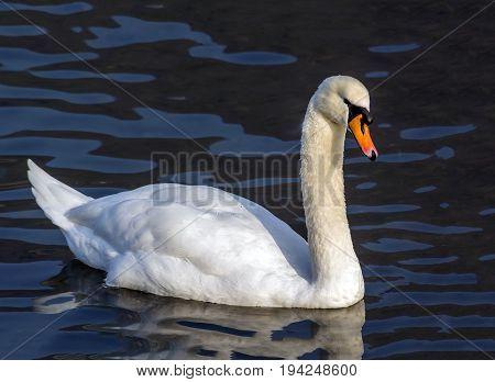 beautyful swan floating on lake dark water