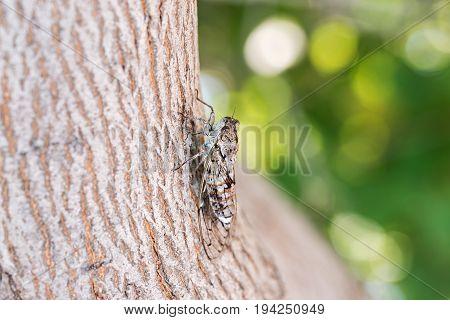 Cicada camouflaged on olive tree, making noise. Crete Elounda Greece.