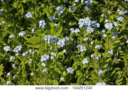 Myosotis sylvatica the wood forget-me-not or woodland forget-me-not flowers