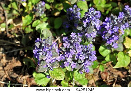 Ajuga reptans commonly known as bugle blue bugle bugleherb bugleweed carpetweed carpet bugleweed common bugle. Medicinal plant