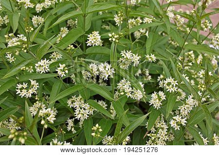 Vincetoxicum hirundinaria commonly named white swallow-wort. Drugs made chiefly from the rootstock of the plant have also been used in treating diseases and ailments