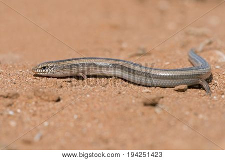 Small Three-toed Skink (Chalcides minutus) in North African desert