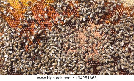 Larvae Of Bees. Honeycombs Are Developing Larvae Of Bees Future Generation Of Beneficial Insects.