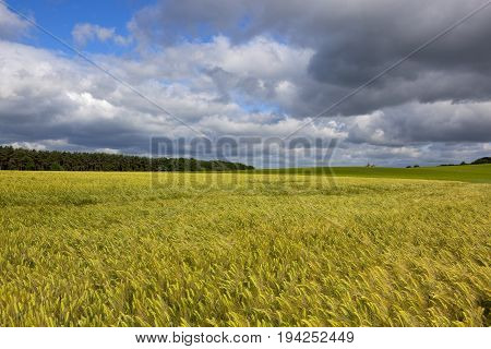 Storm Clouds And Barley