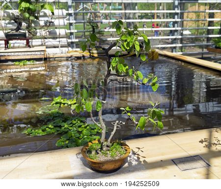 Canadian Serviceberry- Bonsai In The Style Of