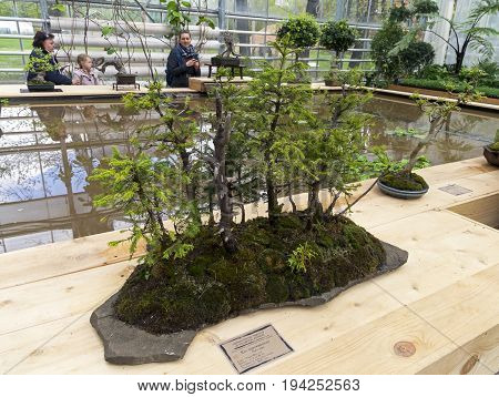 MOSCOW RUSSIA MAY 13 2017: Norway spruce - Bonsai in the style of