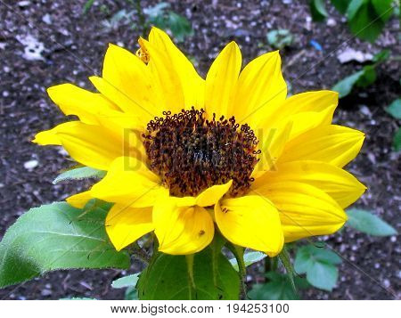 Sunflower isolated in High Park of Toronto Canada July 3 2017