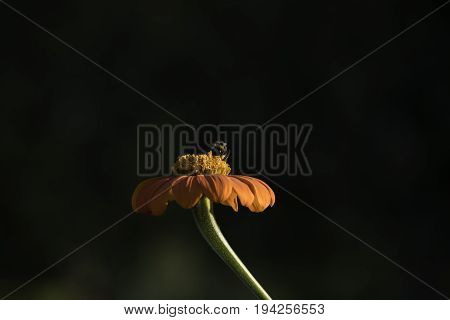 A bee sucking nectar on a beautiful orange Mexican sunflower