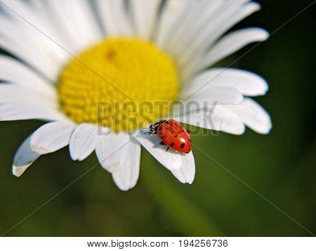 a ladybug or ladybird beetle on a white daisy flower at a local park