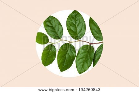 nature, organic and botany concept - green leaves over round frame on beige background
