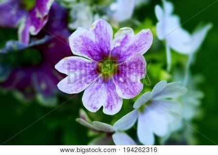 çiçek , beyaz ve mor yapraklar  doğal güzellik