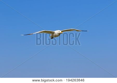 Seagull hover in clear blue sky at sun summer day