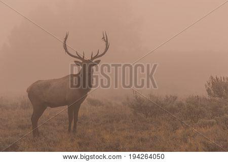 a bull elk in fog at sunrise during the fall rut