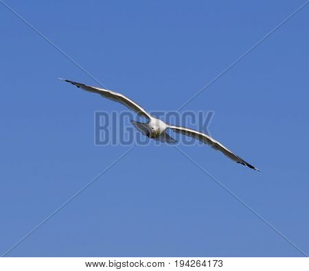 Seagull hover in clear blue sky at sun day