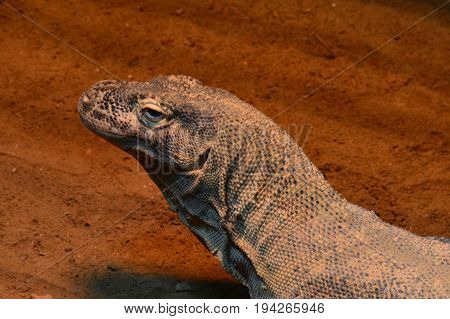 A komodo dragon laying in the dirt