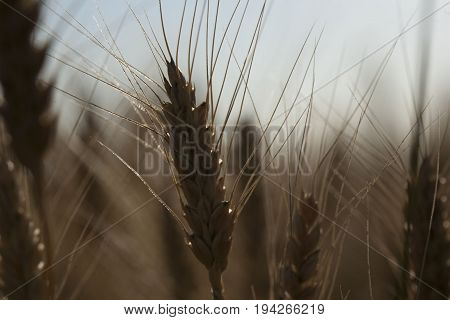 Beautiful nature sunset landscape. Ears of golden wheat close up. Rural scene under sunlight. Summer background of ripening ears of agriculture landscape. Growth harvest. Wheat field natural product