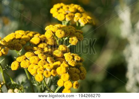 Yellow tansy flowers .Tanacetum vulgare common tansy bitter button cow bitter or golden buttons in the green summer meadow. Wildflowers