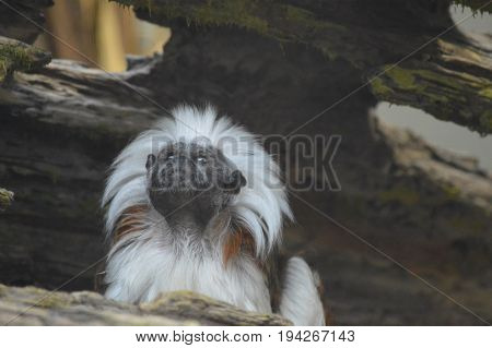 A Cotton Top Tamarin sitting in a log