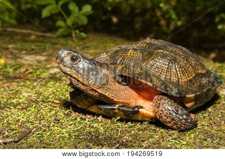 A close up of a Wood Turtle in the wild