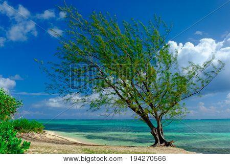 Single tropical tree on the beach by the Caribbean sea, Grand Cayman
