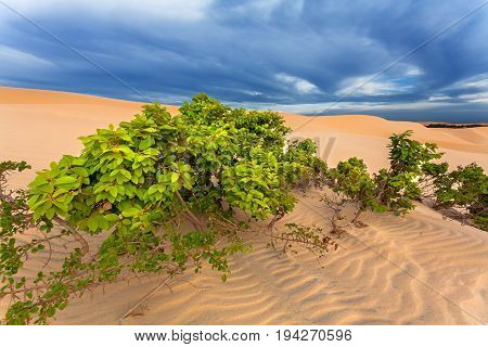 flowering tree with green leaves in the desert sand. Dunes at sunset.