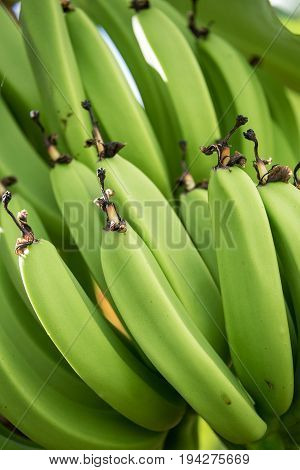 A clump of green bananas ripen in the warm tropical weather