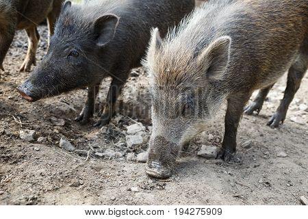Wild boar herd. Wild boar looking for food.