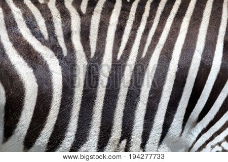 Zebra skin background. Closeup off the distinct pattern of an Imperial or Grevy's Zebra, which is indigenous to Kenya and Ethiopia and is an endangered species.