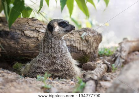 Watchful meerkat keeps a lookout. This small creature lives in packs and is indigenous to Southern Africa.